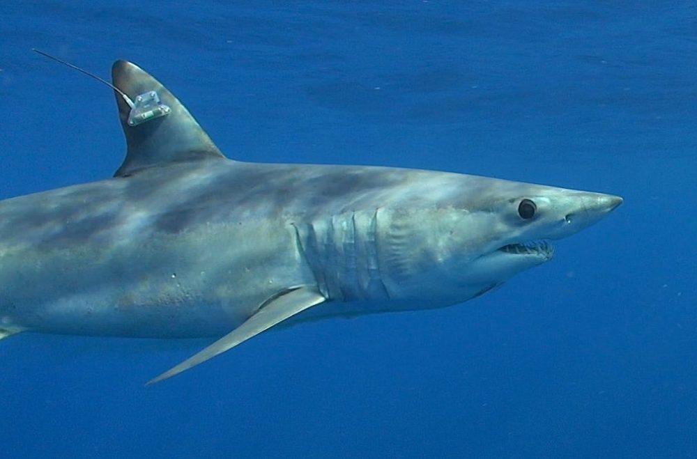 Guy Harvey Park West Gallery mako shark