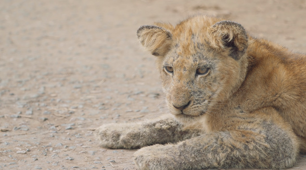 One of the lions the film crew encountered during their travels with Andrew Bone.